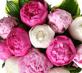 Lélegzetelállító szépség, a pünkösdi rózsa