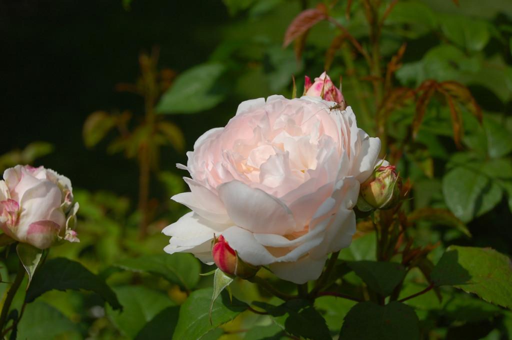 Fénylő rózsaszál
