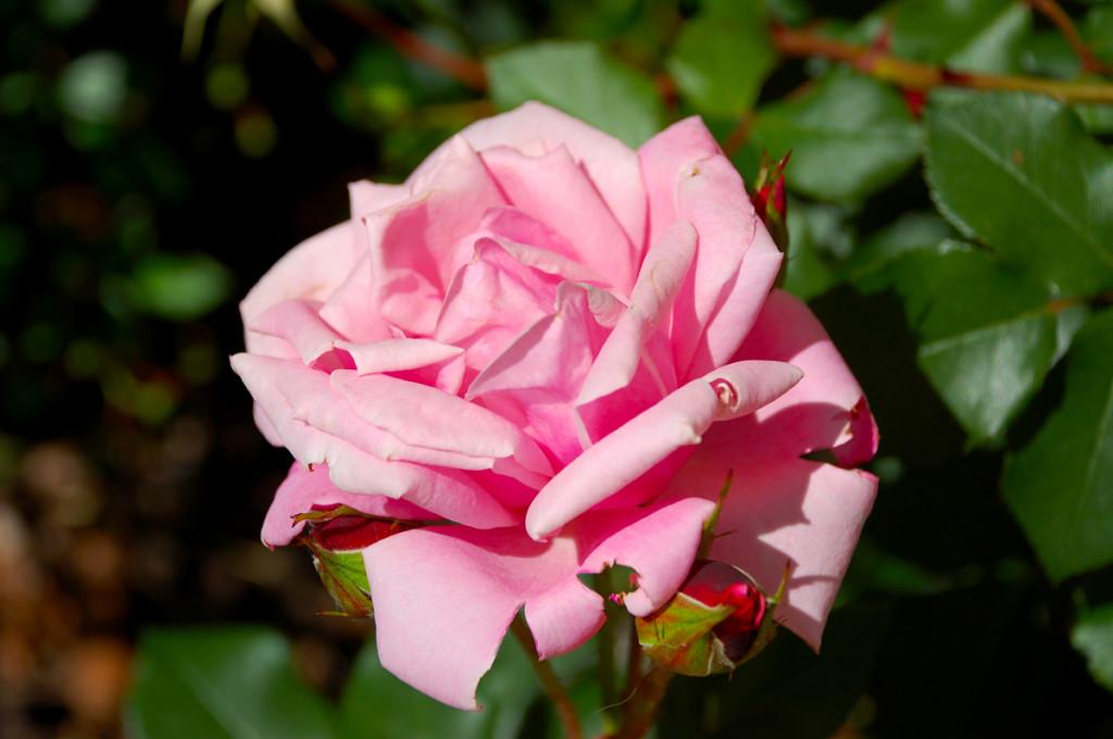 Feslett rózsa