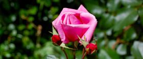 Június 1-je, a rózsák napja