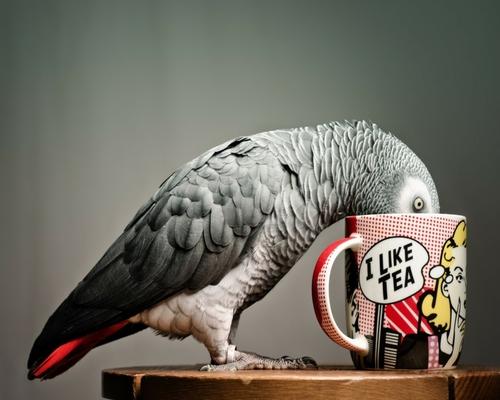 szürke papagáj