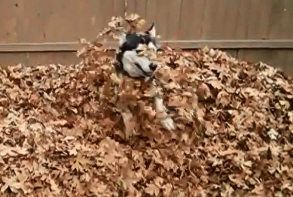 siberian-husky-playing-in-leaves